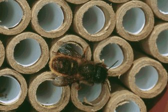 Red Mason bee on a nesting tube