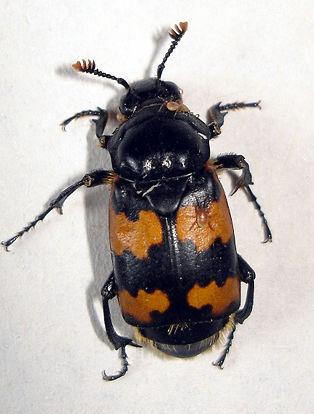 http://www.efabre.net/files/fabre/burying-beetle.jpg