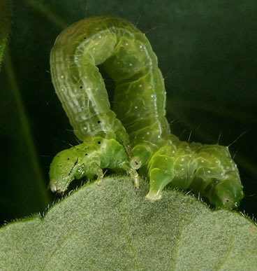 cabbage caterpillar