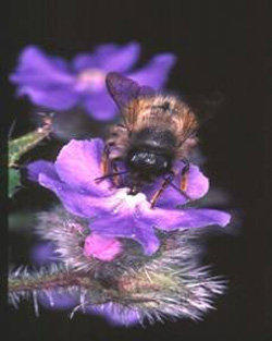 mason bee on a flower