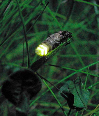 glow worm
