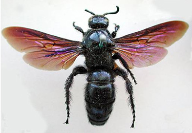 hairy flower wasp